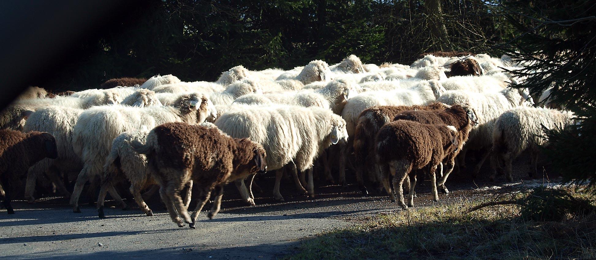 Schafherden stehen symbolhaft für Menschenmassen | Bild: HEINZ KNOTEK/TrinosophieBlog