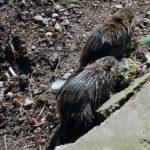 Im Reich der Ratten: mobil unterwegs