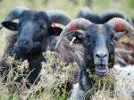 """Demokratie: """"Schafe dazu bringen, ihre Schlachter selbst zu wählen"""""""